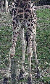 Giraffe_legs