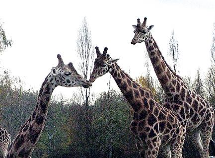 Giraffes_01